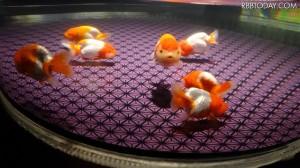金魚の王様・ランチュウの水槽が並ぶ / RBB TODAY