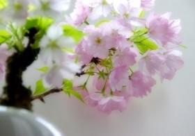 秋に植えて育てる~手のひらで愛でる桜と松の盆栽~ 10/18(火)~全3回 / denmira blog