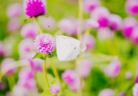 七十二候「菜虫化蝶」(なむしちょうとなる)