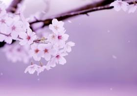 七十二候「桜始開」(さくらはじめてひらく)と運気UP術