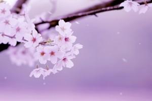 桜始開01