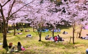 桜始開02