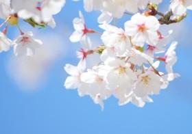 七十二候「桜始開」(さくらはじめてひらく)と運気UP術 / denmira blog